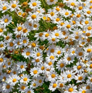 What can camomile do?